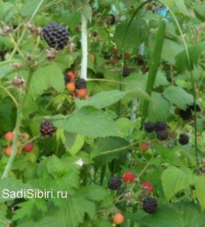 Чёрная малина: особенности культуры и агротехника - Сады Сибири