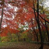 ナラやカシなどブナ科の木の実をどんぐりとよんでいます。シイの実やクリもこの仲間です。どんぐりの実る木には落葉樹と常緑樹があります。どんぐりはその木が増えるための大切な種であるとともに、森で暮す動物たちの食料でもあります。どんぐりには春の花からその年の秋まで熟すものと翌年の秋まで2年かがりで熟すものとがあります。・・・・・・・・・・・・・・・発行所:小峰書店著者:松原巌樹「落ち葉で調べようどんぐりのいろいろ」より抜粋どんぐり作品完成しました。使ったどんぐりはこの本を見ると、背の低い丸い方はクヌギ(東京産)、長く細い方はマテバシイ(千葉産)です。クヌギもマテバシイの木も北海道には自生していない木で、暖かい地方しか育たないようです。北海道のどんぐりの木はミズナラやカシワの木で、アイヌ語でニセウと言います。昔、その実を...どんぐりさんこんなに種類が・・