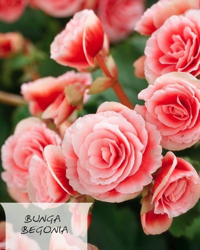 [Obroltorial]  A: Ini bunga bego…? B: Iya, udah tauu.  A: Dengerin dulu. Kebun bunga begonia di Bali jadi yang terlengkap di dunia, lho!  Liat begonia di COLORtorial. Download di App Store dan Playstore sekarang! @emcopaint  #EMCOLUX #COLORtorial #catkayubesi #warna #ngecat #surabaya #jakarta #depok #tangerang #bogor #bekasi #bandung #bali #banyuwangi #denpasar #jember #jogja #semarang #solo #kediri #mataram #nusatenggara #lombok #purwokerto #padang #makassar #cirebon #kupang #malang…