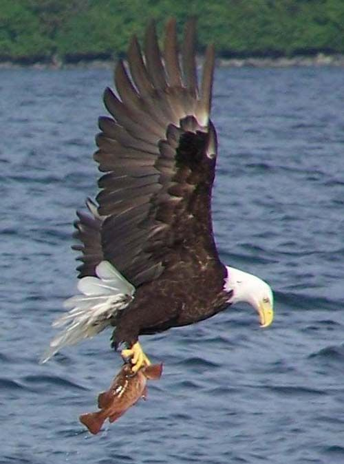 Eagle catching fish by Debra Darland