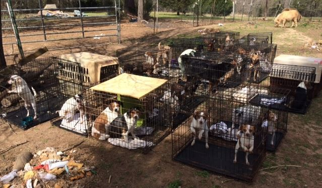 """Dogs seized in Due West on March 7, 2016. (Photo provided)..Sandra Smith inflicted """"unnecessary pain or suffering"""" on 53 dogs, according to an arrest warrant.  Read more: http://www.foxcarolina.com/story/31415529/more-than-50-dogs-seized-from-abbeville-co-home#ixzz44LppFAib"""