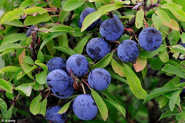 The tiny purple berries are usually ripe for picking in October or November when foragers rush to collect them to make sloe gin