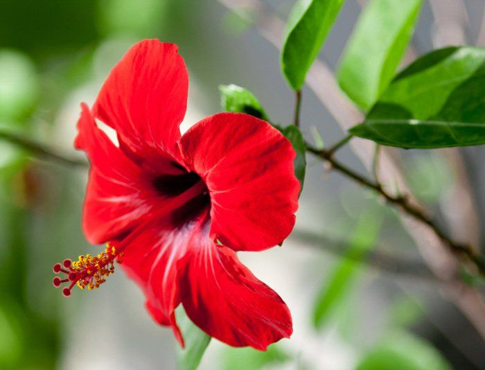 Arabs Have A Drink For Every Illness And They Re All Natural Remedies Hibiscus Rosa Sinensis Hibiscus Growing Flowers