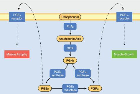 Abstractie van COX pathway en diens rol in spierhypertrofie en -atrofie. Figuur overgenomen uit [8].