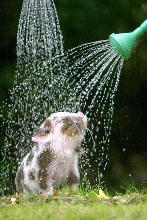 A piglet taking a shower.