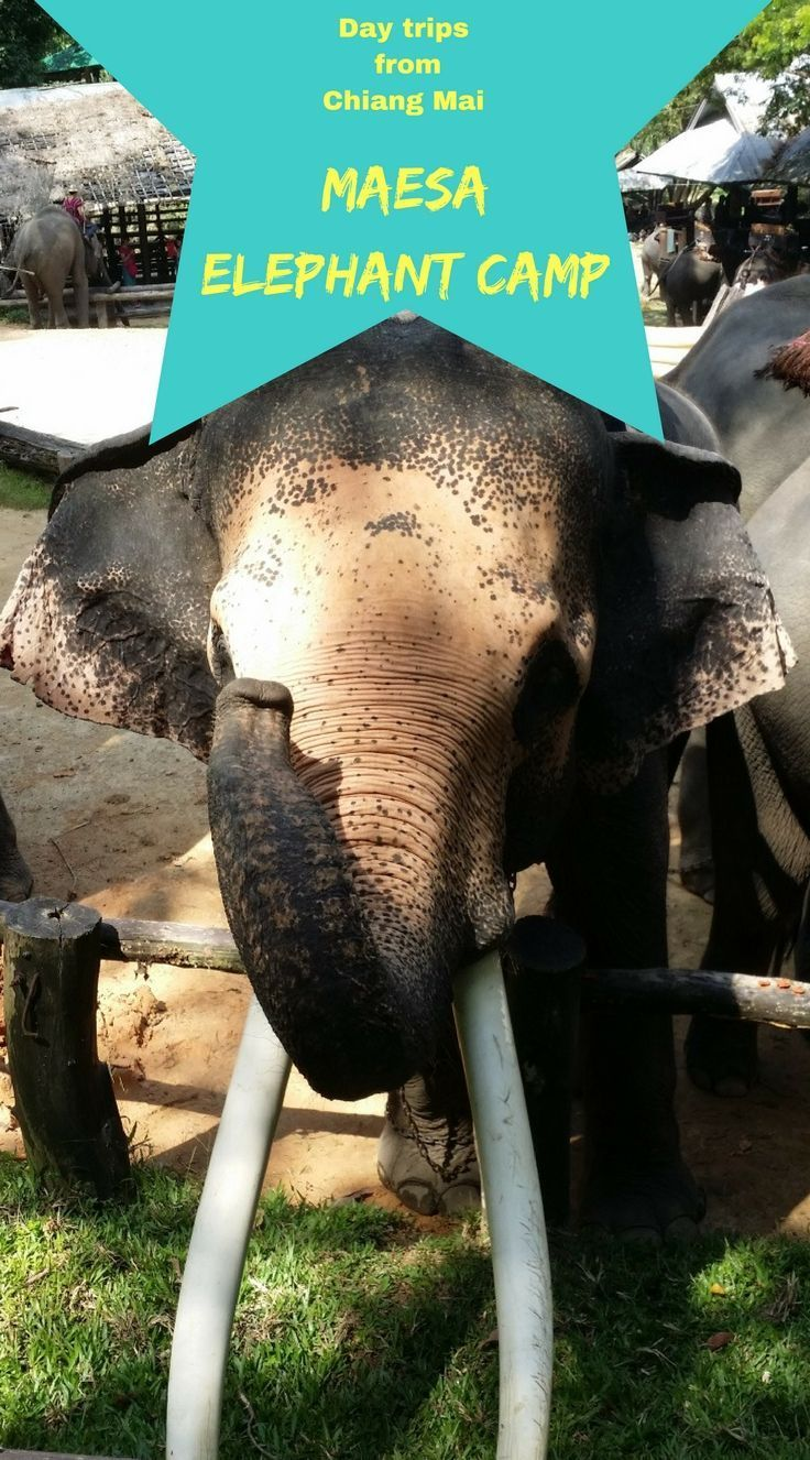 Day trips from Chiang Mai, Maesa Elephant Camp. Learn more about these fascinating creatures. A chance to get up close and personal with one of the largest animals on the planet. #travel #daytripsfromchiangmai #thailand #maesaelephantcamp