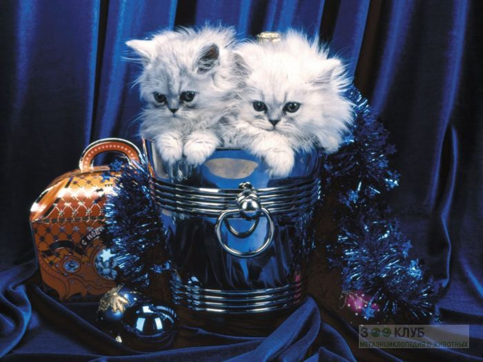 Персидские котята, фото фотография картинка обои