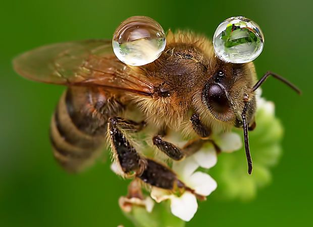 """A bee balances two water droplets on its back as it perches on a flower. The picture was taken by keen photographer Agus Sudarmanto near Doha, Qatar. He said: """"There is no rain at all here so we have to spray water periodically on flowers. This is the reason there were drops on the bee, but it was amazing how it was just delicately balanced on his back."""""""