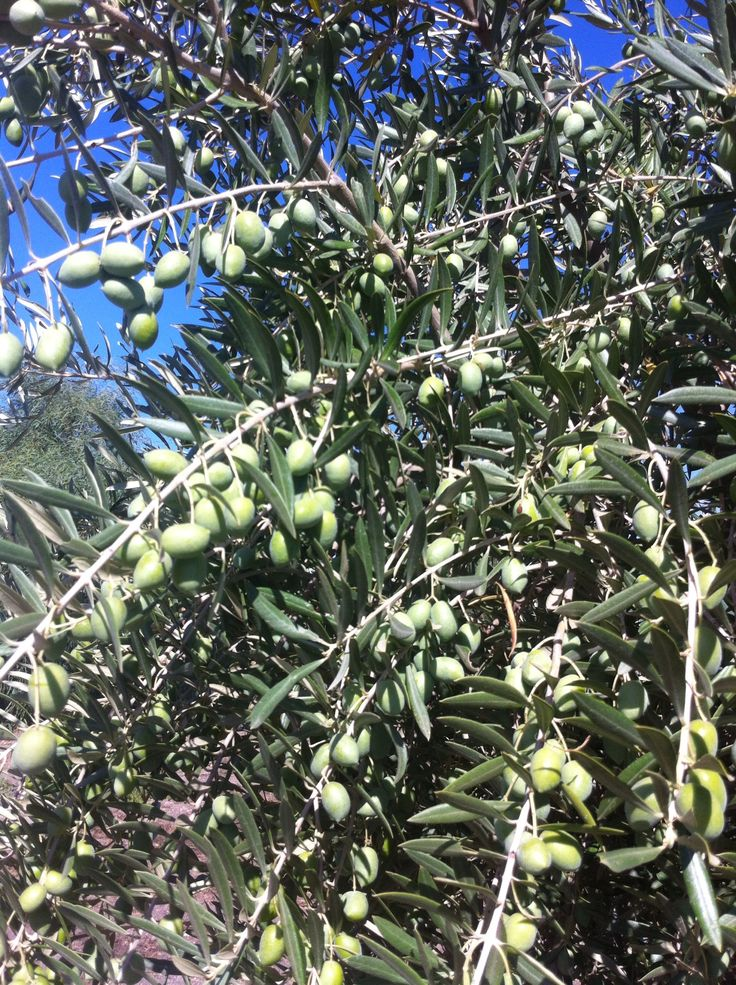 Picual olives this week