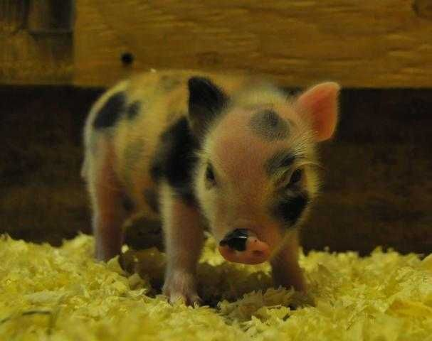 Celebrity micro pigs for adoption