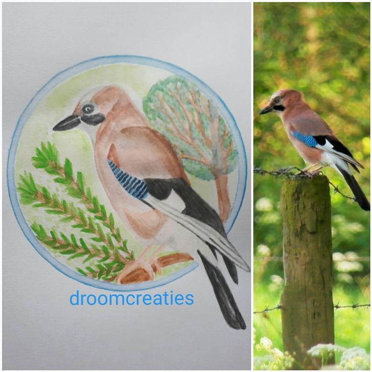 Very proud of the first bird I made with aquarel pencils. It was the first time I finaly got the Jay bird on my camera.   #bird #Jay #vlaamsegaai #aquarelpainting #aquarel #aquarelart #watercolorart #watercolor #watercolour #drawing #mandala #mandalapainting #vogel #photo #droomcreaties