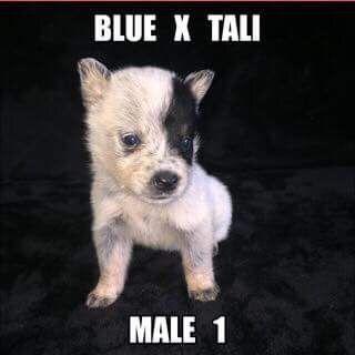 Litter of 7 Australian Cattle Dog puppies for sale in JEFFERSON, SC. ADN-36620 on PuppyFinder.com Gender: Male. Age: 4 Weeks Old