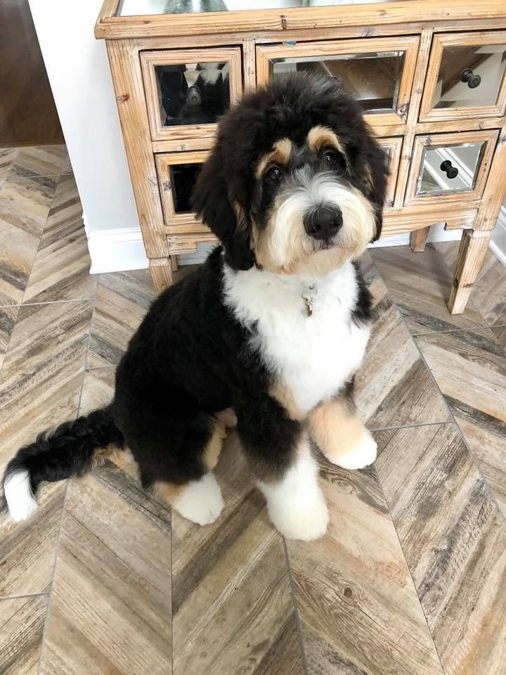 Bernedoodle Haircut Ideas Bernedoodle Puppy Grooming Bernedoodle Puppy