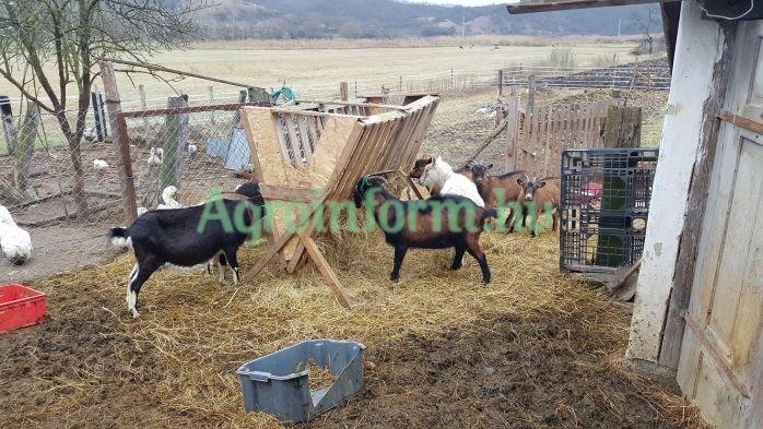 Kecskék eladók - Agroinform.com