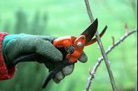 Arbres et arbustes - Rosiers, quand tailler ?