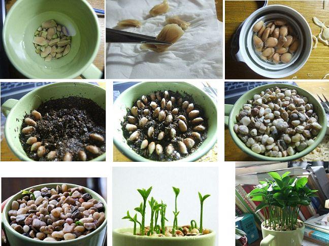 The 25 best planting lemon seeds ideas on pinterest for Can i grow a lemon tree from lemon seeds