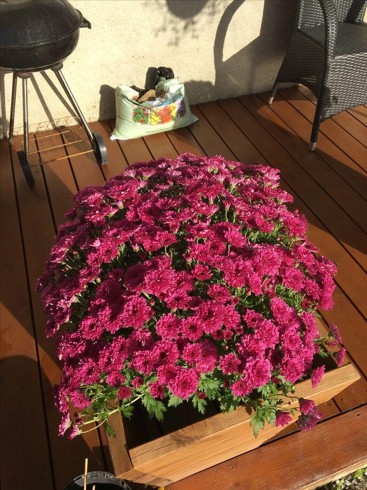 Fikk to nydelige blomster hos storesøster :)