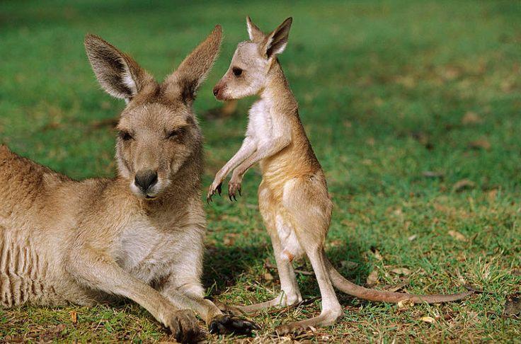 images of kangaroos | animal you red kangaroo this species is a very large kangaroo with ...