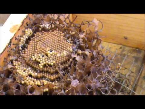 Our AUSTRALIAN NATIVE TRIGONA STINGLESS BEEHIVE Introduction. #1 - YouTube