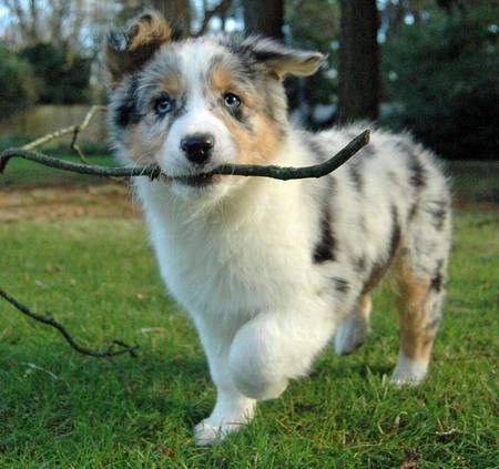 aussie pup.... Used to have a dog like that, one of the best dogs to have with kids. Very easy to train and they are very smart dogs.