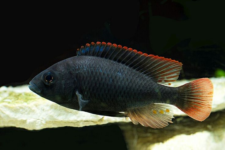 3099 best images about tropicals on pinterest for African freshwater fish