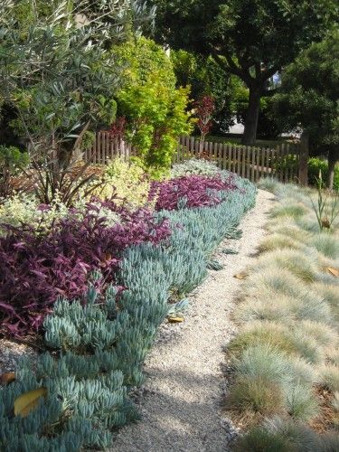 """Instead of installing a traditional lawn, this homeowner created a """"living tapestry"""" using ground cover plants. There is lime-colored Helichrysum, purple, Trandescantia, silver/green Senecio, with a bisecting pea gravel path.To the left of the path is  clumping Festuca glauca, """"Elijah Gray.""""The contrasting foliage color and texture will impart a dynamic look to the  garden year-round."""