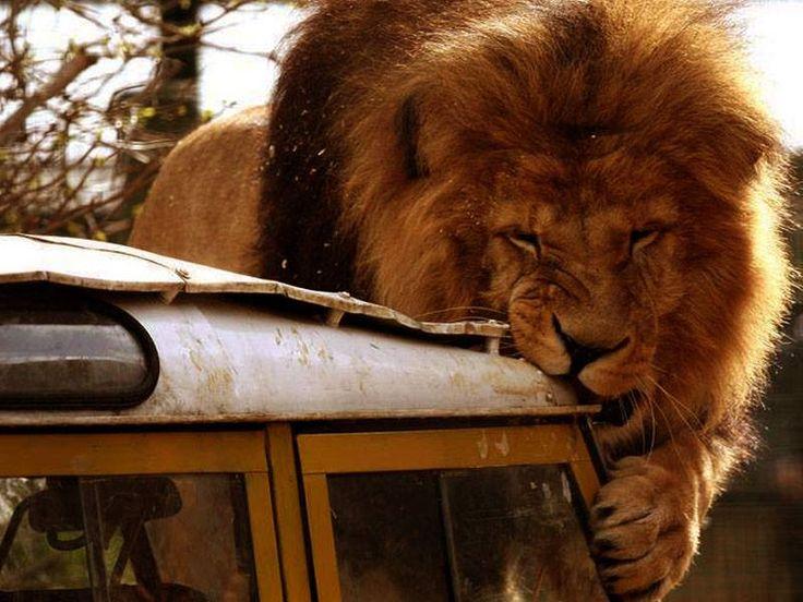 A lion's appetizer - LR Series