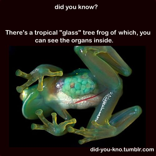"""There's a tropical """"glass"""" tree frog of which, you can see the organs inside."""