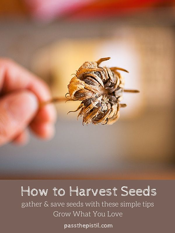 Be resourceful while cleaning up your yard and garden this fall. Courtesy of Pass the Pistil, this guide covers the basics of harvesting seeds to eat or to plant in the spring. Click in for the full guide.