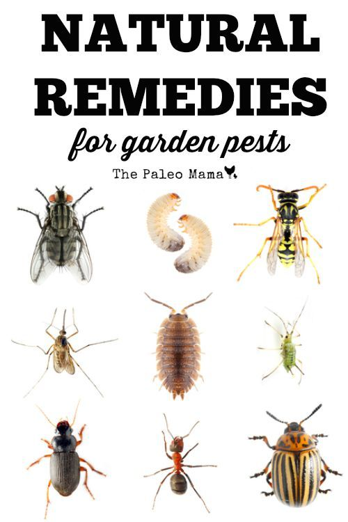 Here a list of the 12 most common insects found in home gardens and some natural remedies for garden pests. http://thepaleomama.com/2015/07/natural-remedies-for-garden-pests/