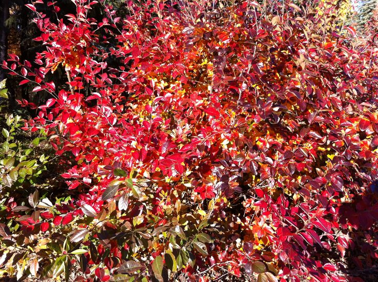 The fiery colors of the Cotoneaster lucidus (Peking Cotoneaster). A very hardy shrub that will grow in full sun to full shade. Recommended for most landscapes in our area.
