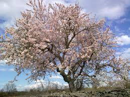 Bajo ese almendro florido, todo cargado de flor
