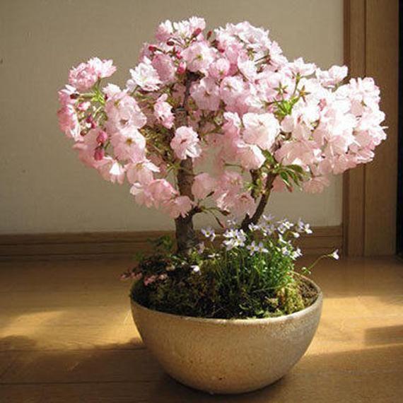 Japanese Sakura Seeds Bonsai Flower Cherry Blossoms Cherry Tree Ornamental Plant 10 Seeds Item No Bonsai Flower Flower Seeds Indoor Flowers