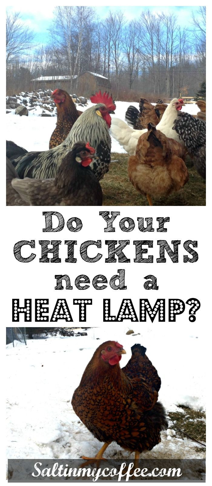 Does The Coop Need A Heat Lamp Raising Chickens Chickens Backyard Keeping Chickens