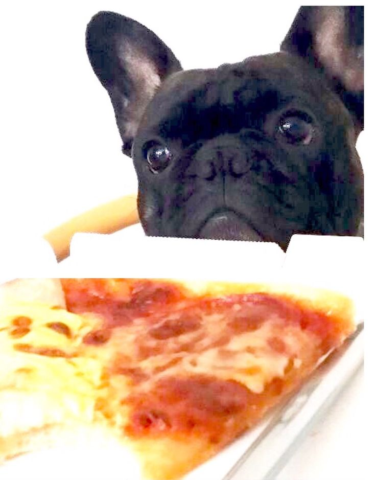 17 best ideas about funny french bulldogs on pinterest
