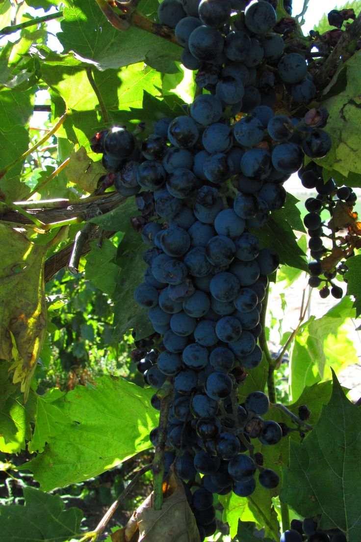 Growing cotton candy grapes from seed and growing wine