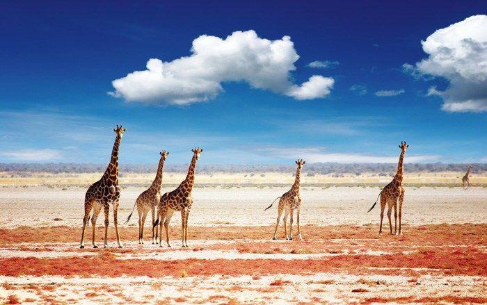 Giraffer i