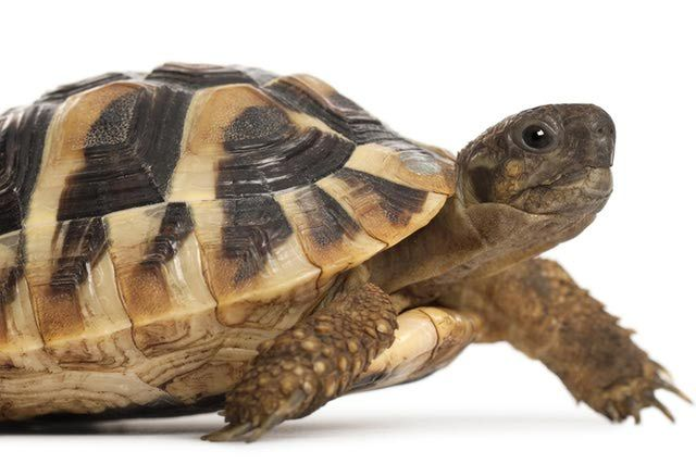 What You Should Know About Caring for a Hermann's Tortoise