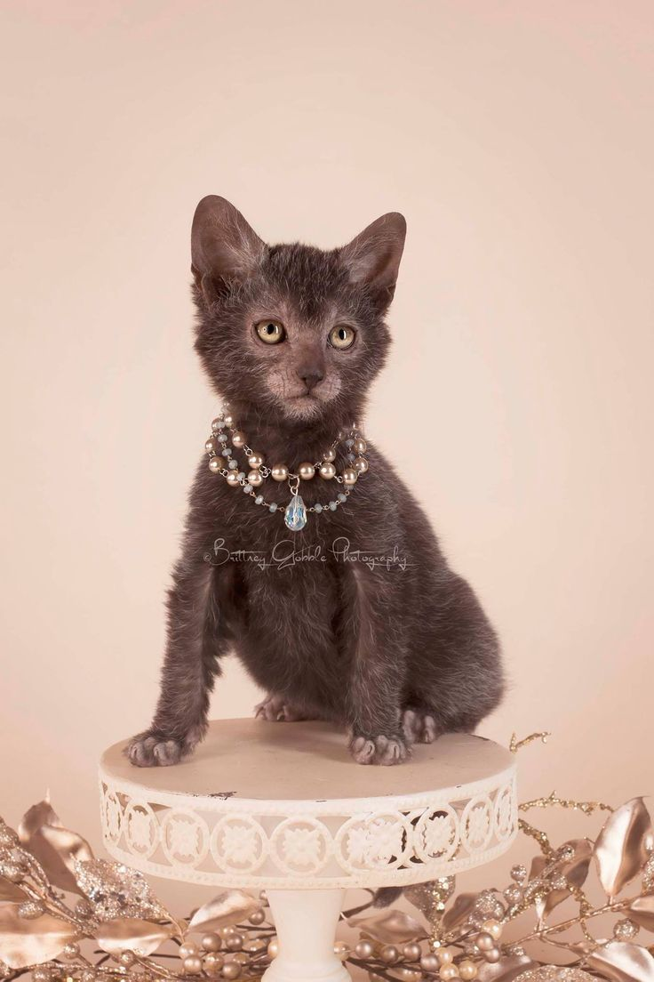 My pretty princess! | Lykoi Cats - photography by Brittney Gobble