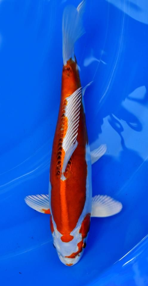 17 best images about koi on pinterest japanese koi for Koi und goldfisch