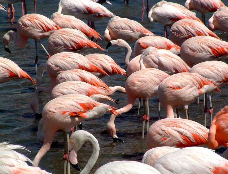 Tickled Pink  - Flamingos at The African Reserve Sigean
