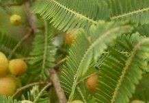 Выращивание Амла дерева    Как выращивать индийский крыжовник