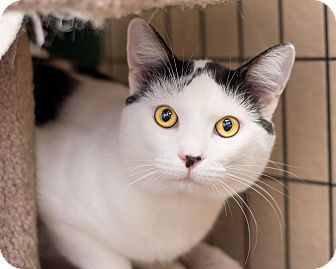 Pictures of Teakwood a Domestic Shorthair for adoption in Fountain Hills, AZ who needs a loving home.
