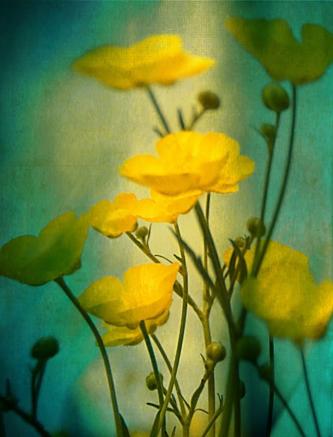 yellow flowers turquoise background