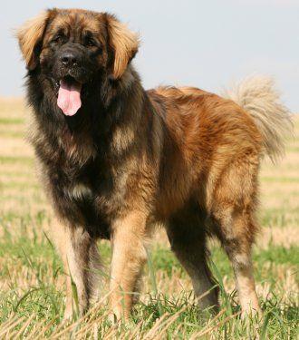 St Bernard Dog For Sale Perth