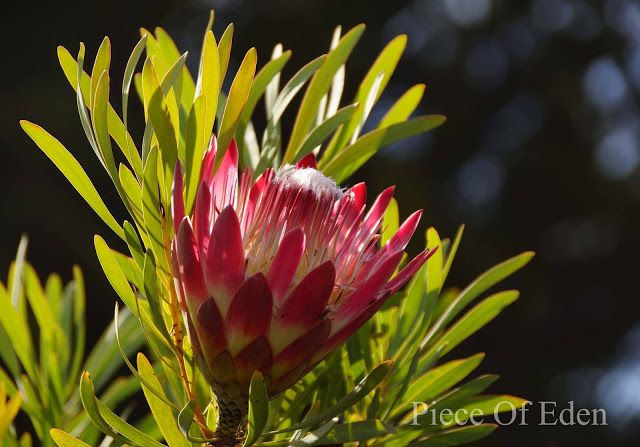 Piece of Eden: Protea And Mimetes Flowers At UC Santa Cruz Arboretum