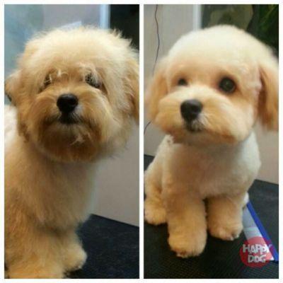 Maltipoo Haircuts picture