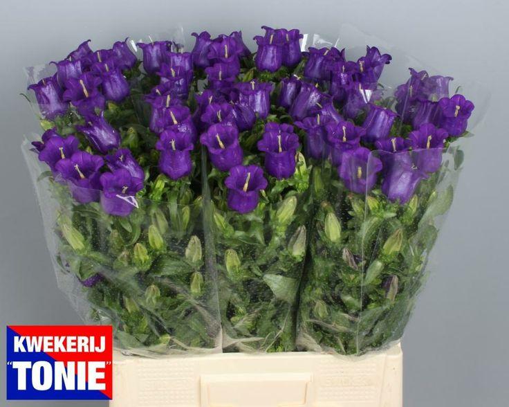 Campanula blue