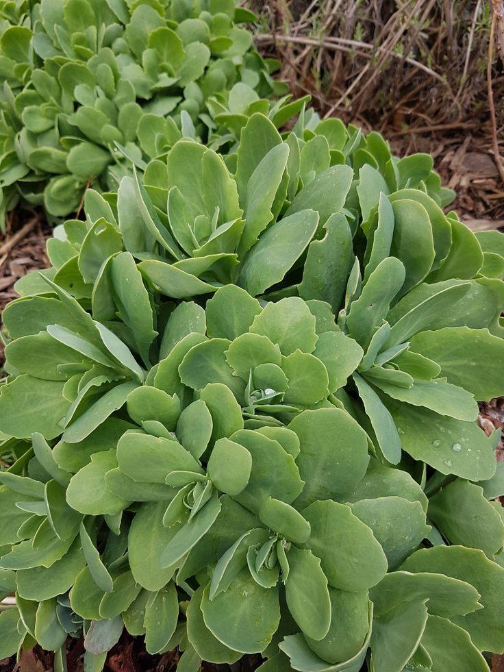 Aeonium Arboreum Nigrum Com Imagens Suculentas Penduradas