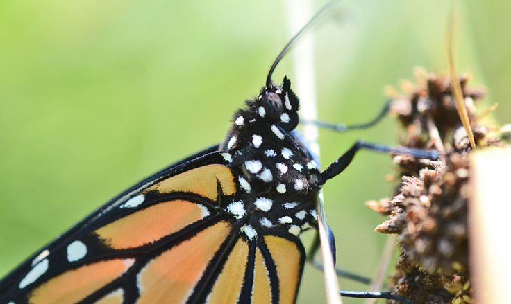 LOSS OF #MILKWEEDS MEANS #MONARCHS COULD GO #EXTINCT #SavetheMonarchs  #nature #butterfly #butterflies #Monarch #Butterfly #MonarchButterflies  #ecology  #monarchCaterpillars #monarchCaterpillar  #caterpillars #caterpillar #monarchPopulations  #Mexico #Midwest #IowaState #JohnPleasants #milkweed #NorthAmerica #glyphosate  #Monsanto  #agriculture #pollinator #pollinators #conservation #endangeredspecies #insects #migration #weather #BriceSemmens